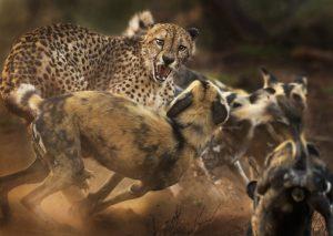 Ein Gepard wird von einem Rudel afrikanischer Wildhunde angegriffen. (Foto: Wildlife Photographer of the Year 2019 / Peter Haygarth)