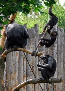 Schimpansen_turnend_cm
