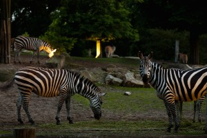 Nachts im Zoo_beleuchtetes Afrikapanorama