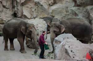 Die trächtige Elefantendame Corny (li.) hat derzeit ein Einzelzimmer gebucht - in Rüsselweite Elefantin Ratja. (Foto: th)