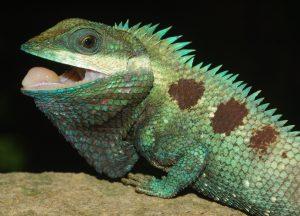 Eine der neuen Arten: Goetz Schönechse, Calotes goetzi aus dem Phnom Kulen Nationalpark in dem auch das ACCB des Allwetterzoos liegt. (Foto: Peter Geißler)