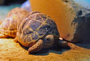 Sternschildkröten im Allwetterzoo. Drei dieser weltweit bedrohten Tiere haben mit Andrea Kiewel und Elton berühmte Paten bekommen. (Foto: Allwetterzoo)