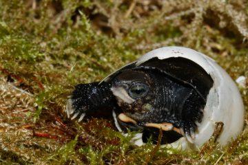 Schlüpfendes Jungtier von Zhouis Scharnierschildkröte (Cuora zhoui). (Foto: Allwetterzoo Münster)