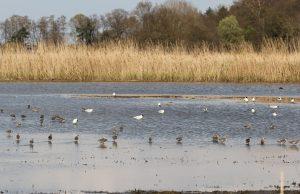 Aufgrund der guten Bedingungen finden viele Watvögel in den Rieselfeldern ihren Lebensraum. (Foto: Biologische Station Rieselfelder Münster)