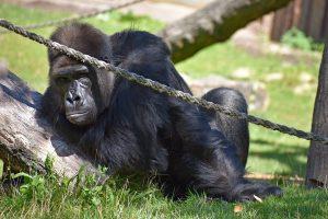 Dem Gorilla Nkwango geht es gut. Damit das so bleibt, werden vom Allwetterzoo umfangreiche Schutzmaßnahmen getroffen (Foto: Allwetterzoo)
