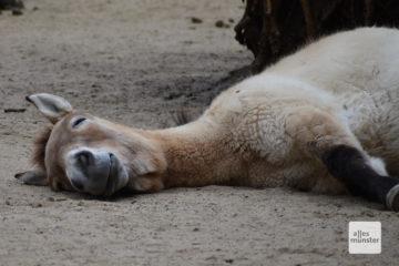 Ohne Besucher kann es schon mal langweilig werden, so wie diesem Przewalski-Pferd (Foto: Allwetterzoo)