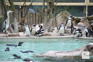 Die Pinguine müssen auf ihren regelmäßigen Ausflug in den Zoo aktuell leider verzichten (Foto: Allwetterzoo)