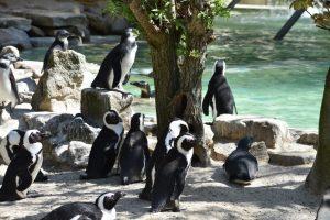 Pinguine im Allwetterzoo Münster. (Foto: Allwetterzoo)