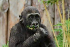 Gorilla Demba im Allwetterzoo. (Foto: Allwetterzoo)