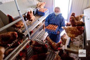 Rund 150 Eier holt Janina Lohmann täglich aus jedem ihrer mobilen Hühnerställe (Foto: Michael Bührke)