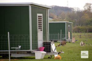 Wo normalerweise 600 Hühner gackern und scharren, sind im Moment nur die beiden Ziegen unterwegs, die normalerweise Greifvögel vertreiben sollen (Foto: Michael Bührke)