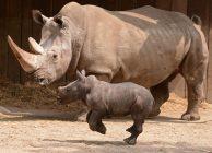 Nashorn-Dame Jane, hier mit dem dreijährigen Eno, ist wieder trächtig. (Foto: Allwetterzoo)