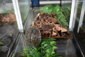 Eine junge Schanierschildkröte in der Aufzuchtstation im Allwetterzoo. (Foto: Allwetterzoo Münster)