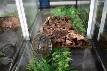 Junge Schanierschildkröte (Foto: Allwetterzoo Münster)