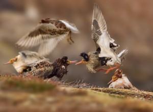 Das Foto des 14-jährigen Ondřej Pelánek zeigt miteinander kämpfende Schnepfenvögel auf der norwegischen Halbinsel Varanger. (Foto: Ondřej Pelánek / WPY2015)