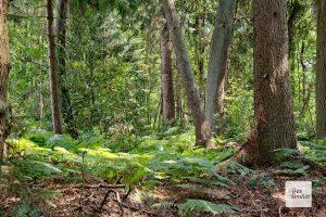 Die Davert war früher ein Feuchtwald. Trockenlegungen in der Vergangenheit machen den Bäumen heute zu schaffen. (Foto: Michael Bührke)