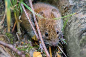 Die putzige Rötelmaus kann über ihren Kot das Hantavirus verbreiten. (Foto: flickr/Maike Janina)