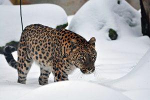 Ein seltener Anblick: Leopard im Schnee. (Foto: Allwetterzoo Münster)