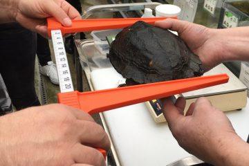 Hier wird eine Sulawesi Waldschildkröte vermessen. (Foto: Allwetterzoo Münster)