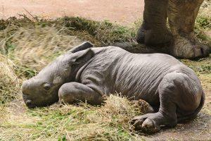 Nashorn-Nachwuchs Amiri kam am Samstag im Allwetterzoo zur Welt. (Foto: Allwetterzoo)