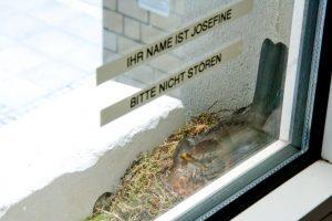 """Die Amselmutter """"Josefine"""" brütet auf einer Fensterbank in der Raphaelsklinik. (Foto: Raphaelsklinik)"""