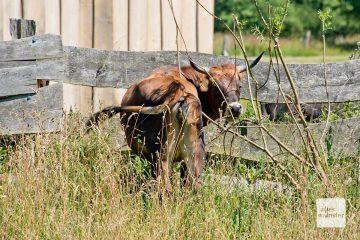 Auch diese Heckrinder fühlen sich in der Landschaft der Rieselfelder wohl. (Foto: Michael Bührke)