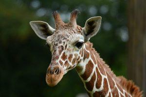 Giraffenbulle Rocky zieht um! (Foto: Allwetterzoo)