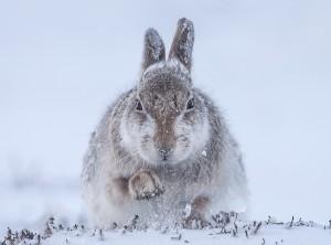 """Ein (Oster-)Hasenfoto aus der aktuellen Ausstellung """"Wildlife Photographer of the Year"""". (Foto: Rosamund Macfarlane/Wildlife Photographer of the Year 2015)"""