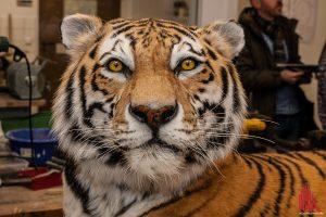 Tiger Rasputin wird als Präparat weiterleben. (Foto: sg)