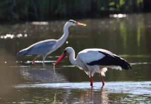 Auch Weißstörche und Graureiher holen sich regelmäßig kleine Fische aus den Bewässerungsteichen in den Rieselfeldern. (Foto: Michaela Stenz).