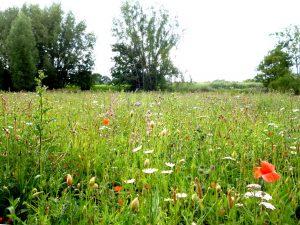 Die Wildblumenwiese zwischen Mendelstraße und Kinderbach ist mehr als ein Hingucker. Sie ist notwendiger Lebensraum für Insekten und heimische Wildpflanzen. 2,2 Hektar solcher Wiesen hat die Stadt im Frühjahr ausgesät. (Foto: Stadt Münster)