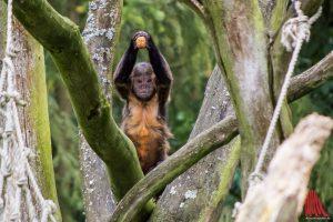 Die Gelbbrust Kapuziner können die begehrten Nüsse mit Geschick knacken. (Foto: th)
