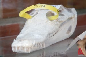 Der Schädel eines Kaimans. Nicht nur geschmacklos sondern auch verboten. (Foto: Michael Bührke)
