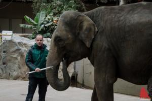 Revierleiter Michael Adler mit der der trächtigen Elefantenkuh. (Foto: th)