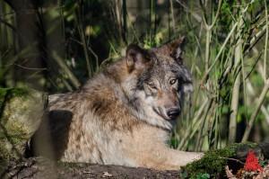 Im Allwetterzoo leben nun auch fünf Timberwölfe. (Foto: th)