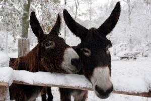 Auch die Poitou-Esel freuen sich auf den Nikolaus. (Foto: Allwetterzoo)