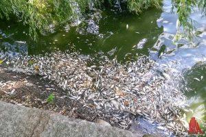 Experten schätzen, dass der Großteil des Fischbestandes im Aasee verendet ist. (Foto: Maria Lange)