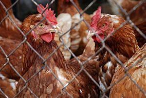 Das Insektizid Fipronil könnte über ein Ergänzungsfuttermittel für Tiere eingebracht worden sein. (Symbolbild: CC0)