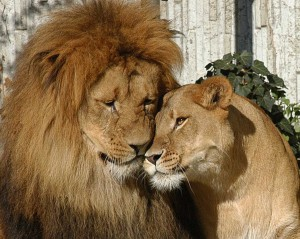 Das Löwenpaar Jarah und Zeta (Foto: Zoo)