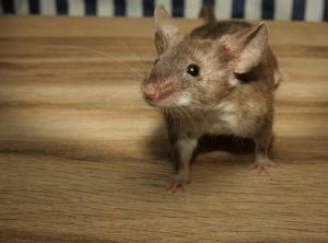 77 Mäuse wurden in Käfigen in einem nicht genehmigten Labor gefunden. (Foto: CC0)