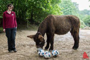 """Poitou-Esel Amélie ist das neue EM-Orakel im Allwetterzoo. """"Trainiert"""" wird sie von Tierpflegerin Sandra Dechert. (Foto: th)"""