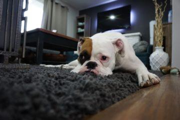 Bei soviel Tipps für's zu Hause bleiben, wird der Hund auch ohne Pfanne verrückt. (Stockfoto: Pexels / CC0)