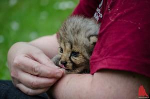 Der keine Geparden-Kater im Zoo muss nun nicht mehr zusätzlich von den Pflegern gefüttert werden. (Foto: th)