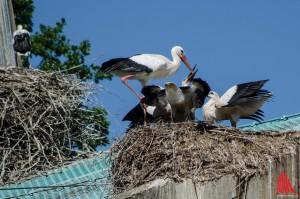 Auch Behausungen anderer Vögel sind nicht vor Nestbau des Storches sicher: Störche auf der Greifvogel-Voliere. (Foto: th)