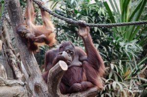 Ohne Besucher haben sich auch die Zootiere gelangweilt, wie hier die Orang-Utans. (Archivbild: Thomas Hölscher)