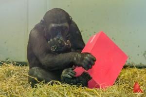 """Geburtstags-Gorilla """"Demba"""" packt die Geschenke aus. (Foto: th)"""