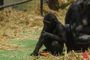 Das zweijährige Gorillababy Demba (Foto: th)