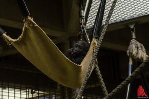 Demba macht es sich im Affenhaus gemütlich. (Foto: th)