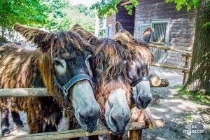 Im Allwetterzoo öffnen weitere Tierhäuser wieder. Menschenansammlungen sind aber weiter zu vermeiden. Für die Poitou-Esel gilt das nicht. (Archivbild: Thomas Hölscher)