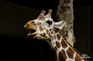 Die Tierhäuser bleiben bis auf weiteres für Besucher geschlossen, also auch das Giraffenhaus. (Archivbild: Thomas Hölscher)